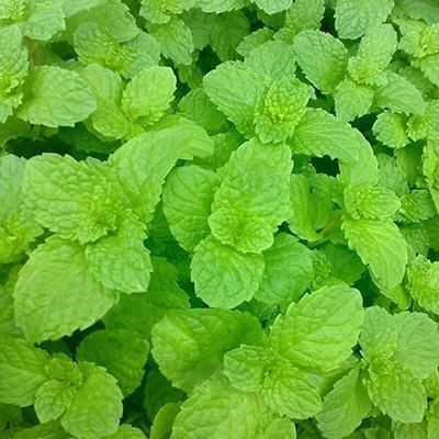 Graines Légumes New Fresh Lemon Mint Herbes Balm Heirloom Seeds Melissa Herbes Pack 1 30 Seeds