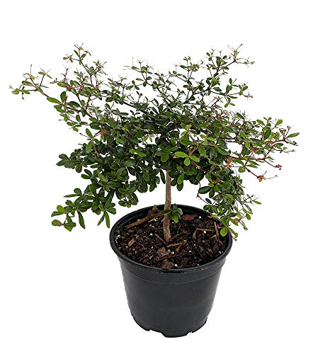 Dwarf Black Olive Tree - Indoors or Out - 4' Pot - Bucida spinosa