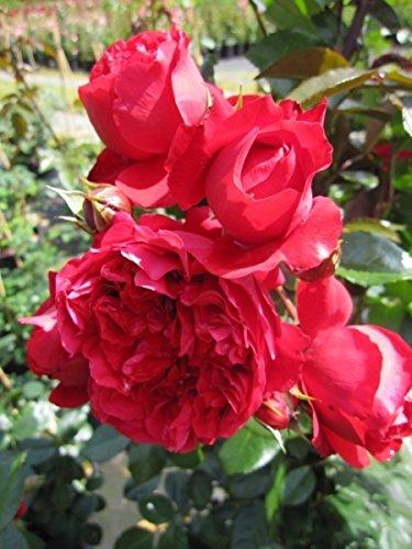 Kletterrose Florentina® - Rosa Forentina® - rot - Kordes-Rose
