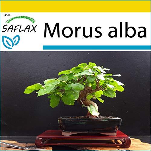SAFLAX - Set de cultivo - Morera blanca - 200 semillas - Con mini-invernadero, sustrato de cultivo y 2 maceteros - Morus alba