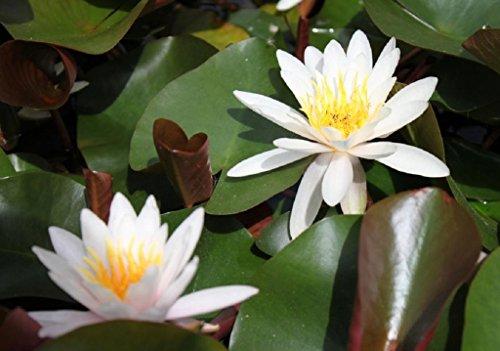 Seerose im Pflanzkorb - Nymphaea odorata - Seerose, weiß - Wasserpflanzen Wolff