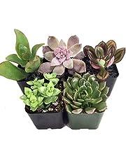Pack de 5 Plantas Crasas Variadas Suculentas Decorativas 5cm Maceta