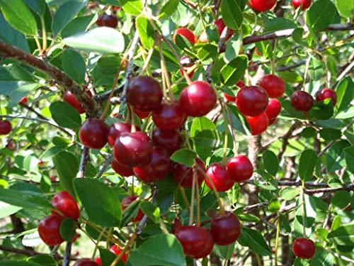 Kersen struik, Prunus Porthos , kersenboom in struikvorm, voor tuin, moestuin, terras...