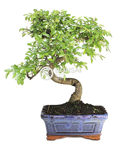 Bonsai - Olmo chino, 6 Años (Bonsai Sei - Zelkova)