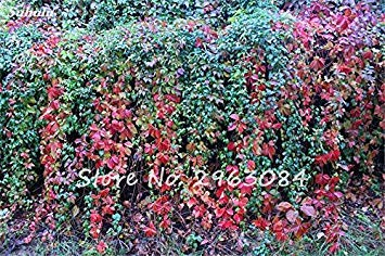 VISTARIC AAA coloré Boston Seed jardin Rare Parthenocissus tricuspidata semences Bonsai Plante en pot Creeper Graines Easy Grow 50Pcs