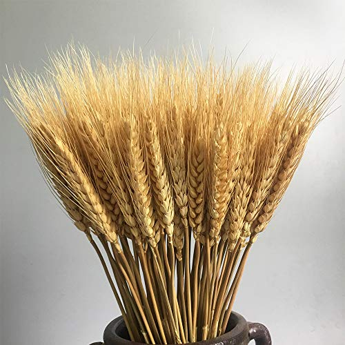 100 Stems Dried Wheat Stalks Dried, Natural Ear of Wheat Grain Flowers for Home Dining Table Flower Arrangement Art Wedding Decoration