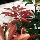5 Stk. Japanische Lavendelheide 'Mountain Fire' - (Pieris japonica 'Mountain Fire')- Topfware 10-15 cm