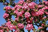 Keland Garten - Raritäten Echter Rotdorn 'Paul's Scarlet' karminrot Vogelschutzgehölz, 20pcs Blumensamen Baumsamen winterhart mehrjährig als Hofbaum in Parkanlagen