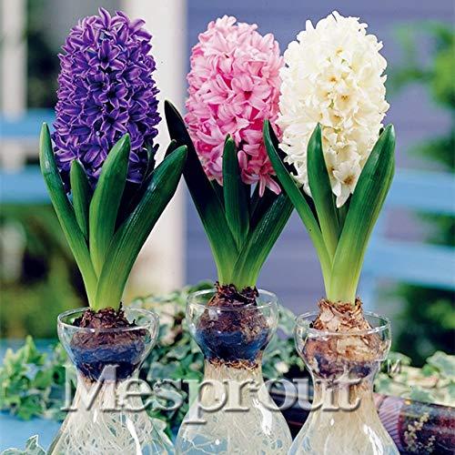 HONIC New Gartenhyazinthe Bonsai Günstige Hyacinth Bonsai, Hyazinthen Topf Bonsai, Bonsai Balkon Blume für Hausgarten-50PCS: 7
