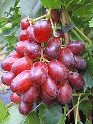 Baumschule Pflanzenvielfalt Vitis labrusca Suffolk Red Rosé-Weinrebe