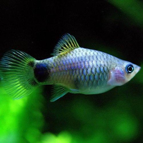 (熱帯魚)ブルーミッキーマウスプラティ(約3-4cm)<6匹>[生体]