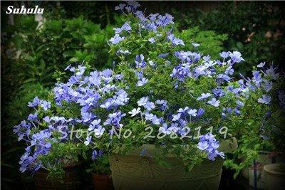 Belle Bonsai Blanc Saxifraga « Neige de printemps » Graines de fleurs vivaces De jardin les plus populaires Nature Plantes à effet de serre 120 Pcs 1