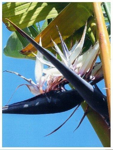 TROPICA - Oiseau du paradis blanc (Nicolai) (Strelitzia nicolai) - 5 graines- Magie tropicale