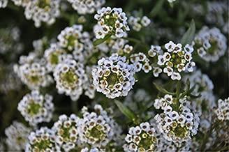Sweet Alyssum 'Snow Cloth' (Lobuliaria Maritima (L.) Flower Plant Seeds, Annual Dwarf Heirloom
