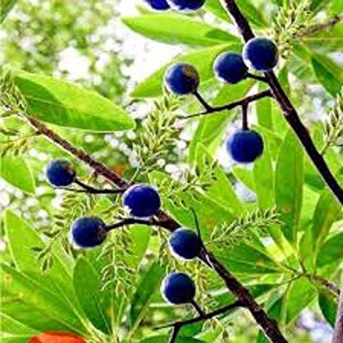 Rudraksha Seeds/Amritphala- Frutas de néctar/Cuentas de arándano