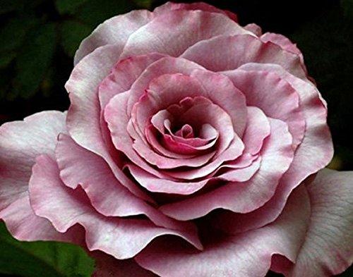 Belles graines Neptune Rose Flower 80 graines -BUY 4 ARTICLES