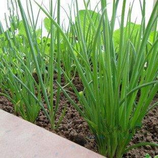 comestible siembra de semillas vegetales - cuatro estaciones semillas de cebollino 40 piezas / paquete