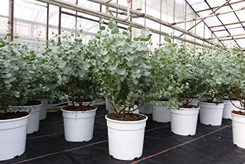 Eucalyptus Gunni Gunnii Busch Kugel Eukalyptusbaum, Ø 40 cm, H 50 cm Pflanze winterhart