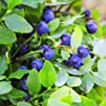 Outsidepride Blueberry Seeds