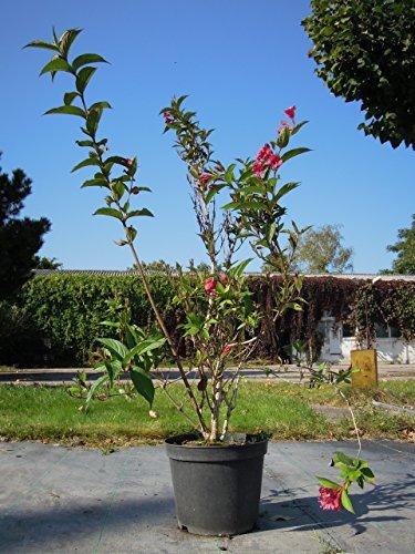 Weigelie Bristol Ruby 60-100 cm Busch für Sonne-Halbschatten Heckenpflanze purpur-rosa blühend Gartenpflanze winterhart 1 Pflanze im Topf