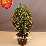 Grosses soldes! croissance rapide violet Paulownia graines 100PC, rapide - de plus en plus de planter des arbres semences d'arbres pour la décoration maison