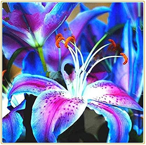 Lilium asiaticum/Magische blaue Blüten,...