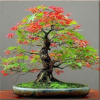 50 PCS rares graines de l'érable vert et violet Couleur Rouge Feuillage Bonsai Jardin Plante en pot pour Flower Pot Planters 1