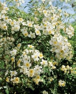 'Kiftsgate', Rambler-Rose in A-Qualität Wurzelware