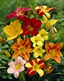 Daylily Mix Value Bag (6 Roots Per Package)