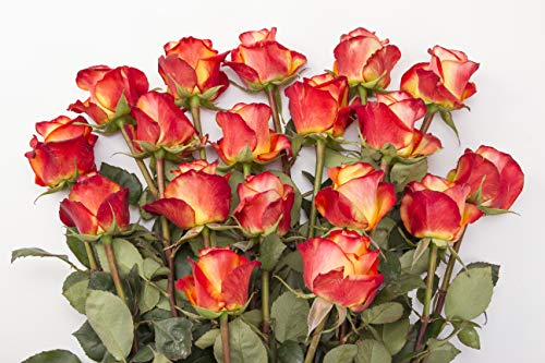 Rose Delivery by BloomsyBox - Two Dozen Orange & Pink Roses Hand-Tied, Long Vase Life