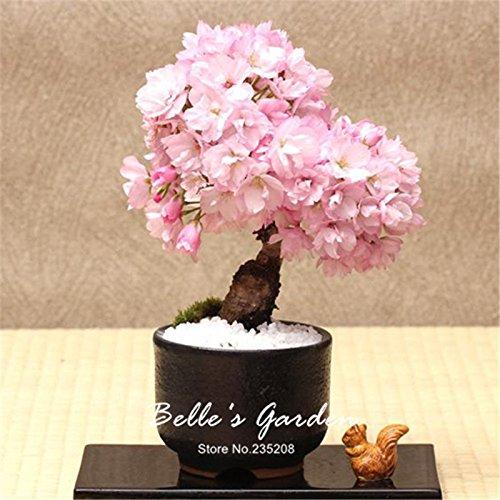 15pcs Rose Sakura Graines Bonsai Fleur Fleur de cerisier Arbre Graines Plante en pot bricolage Belle fleur jardin