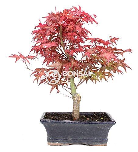 Bonsai - Arce japones, 9 Años (Bonsai Sei - Acer Palmatum Deshojo)