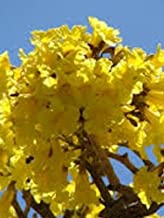 Plant Tree TABEBUIA CARAIBA Yellow Flowering Tree Golden Trumpet Golden Tree