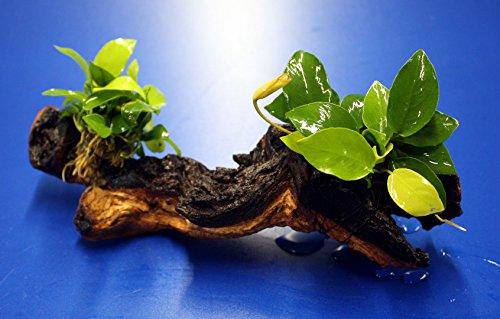 WFW wasserflora 2 x Goldenes Zwergspeerblatt auf Einer schönen Mopani-Wurzel/Anubias Nana Gold
