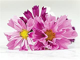 Cosmos Seashells - Long Blooming Period in All Zones