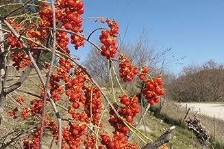 American Bittersweet, Celastrus scandens, Vine Seeds (20 Seeds)
