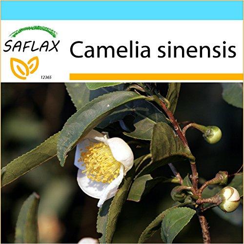 SAFLAX - Kit cadeau - Théier - 6 graines - Camelia sinensis