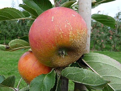 Apfel Cox Orangen Renette Busch im 7,5 l Topf, 60 cm Stammhöhe