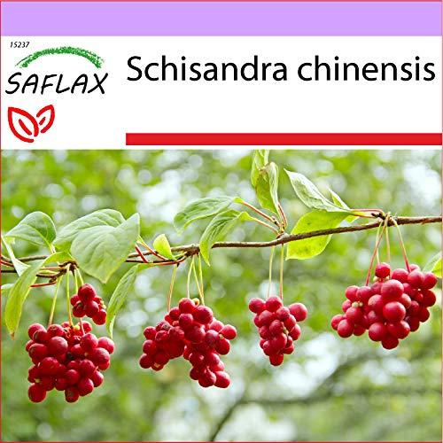 SAFLAX - Heilpflanzen - Wu-Wei-Zi Beere - 15 Samen - Schisandra chinensis