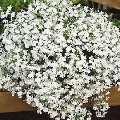 50+ Lobelia Regatta blanc Graines de fleurs/annuel