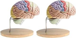 Baosity 2 Sets Anatomical Magnified Median Section Human Brain Brainstem Model