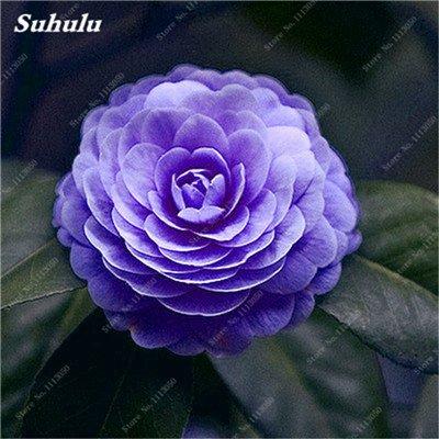 Grosses soldes! 10 Pcs Camellia Graines, Graines Bonsai Fleur, couleur rare, bonsaïs d'intérieur / extérieur Plante en pot pour jardin Facile à cultiver 2