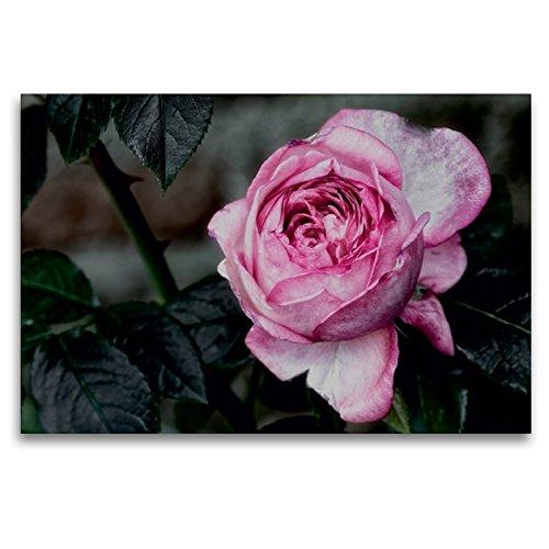 Premium Textil-Leinwand 120 x 80 cm Quer-Format Strauchrose La Rose de Molinard - Delbard 2008 | Wandbild, HD-Bild auf Keilrahmen, Fertigbild auf hochwertigem Vlies, Leinwanddruck von Dieter Meyer