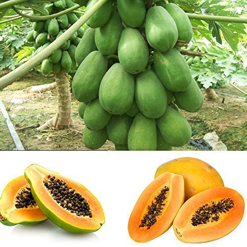 QHYDZ Samenhaus-8 Samen Chinesisch Quitte, Papaya Früchte Baum Samen, Chaenomeles Sinensis Frucht Blumensamen, Exotische Thornless Obst Saatgut für Hausgarten Zierpflanzen