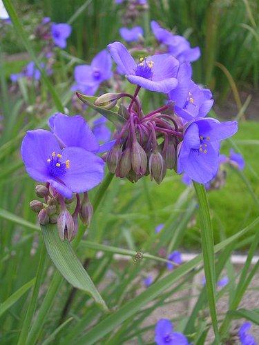 100 OHIO SPIDERWORT (Widows Tears / Bluejacket) Tradescantia Ohiensis Flower Seeds
