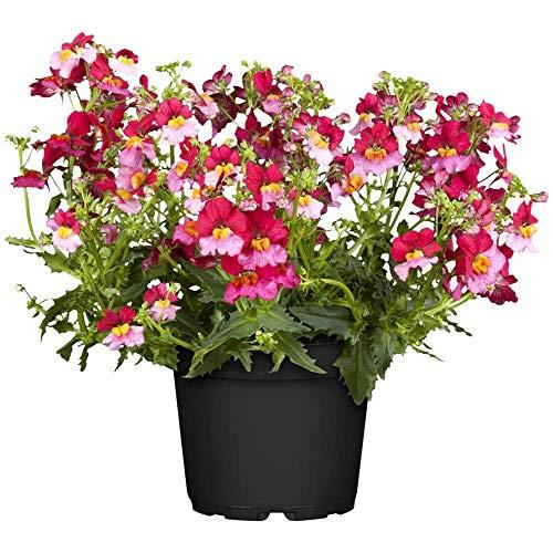 Nemesia SUNSATIA 'Berry Delight', rosa-rot, Elfenspiegel - im Topf 11 cm, in Gärtnerqualität von Blumen Eber - 6 Töpfe a 11 cm
