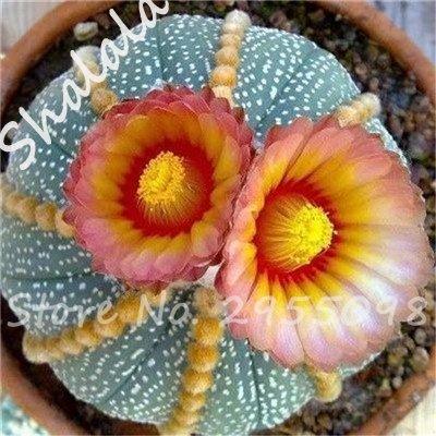Nouvelle arrivee! 20 Graines frais Succulent Cactus boule Graines, variété de couleurs, Intérieur aérobie Potted haute Germination Graines de fleurs 8
