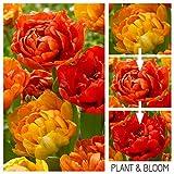 Plant & Bloom - Tulpenzwiebeln aus Holland