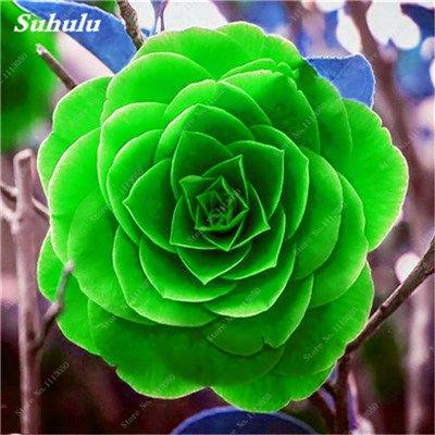 Grosses soldes! 10 Pcs Camellia Graines, Graines Bonsai Fleur, couleur rare, Pot de bonsaïs d'intérieur / extérieur des plantes pour jardin Facile à cultiver 15