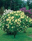 Risitar Graines - 50pcs Lilas double blanc/bleu/rouge(Syringa vulgaris), délicieusement parfumées, Arbres et arbustes Grainé fleur jardin Plantes vivaces résistante au froid